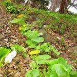 蝦夷の立金花(やちぶき)
