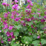 ハーブガーデンの花々
