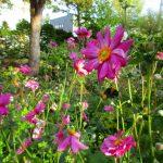 秋明菊と秋の蜂
