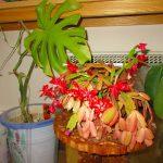 カニシャボテン花盛り