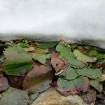 ヒマラヤユキノシタの葉