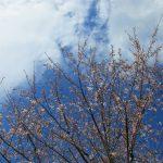 わが家の桜が満開