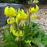 黄色いかたくりの花