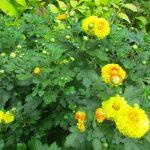 庭の黄色い小菊